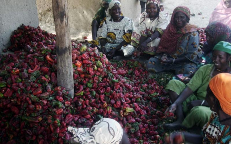 Resultado de la producción de pimientos gracias a las campañas de microcréditos puestas en marcha por la Fundación.